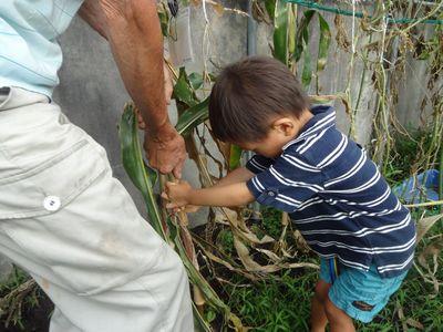 ポップコーンの収穫1